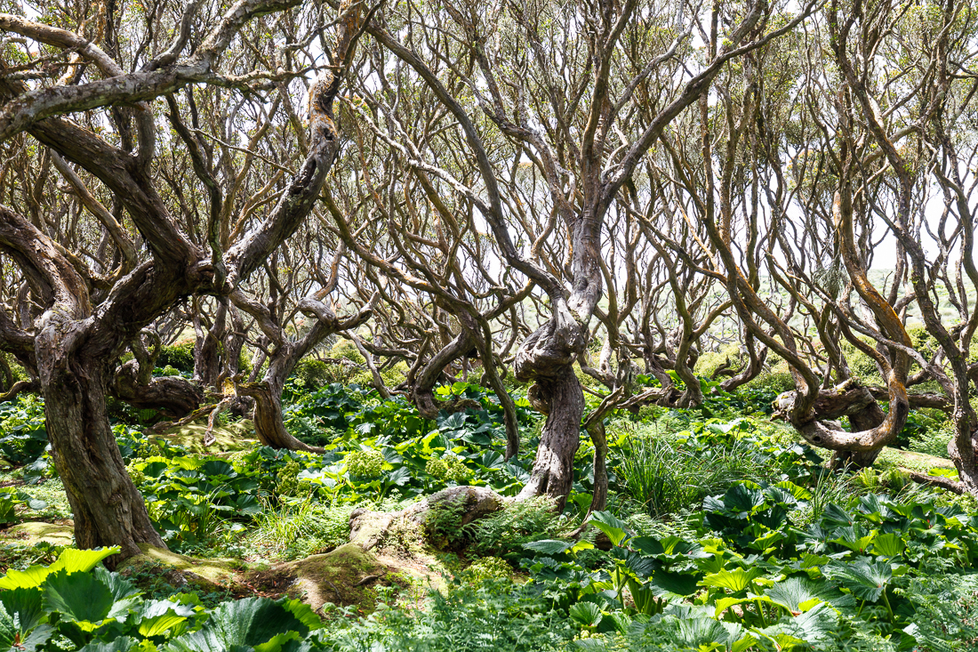 Tangled rata forest on Enderby Island, near Auckland Island.