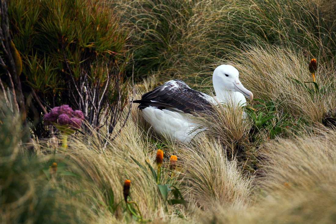 Southern Royal Albatross nests amongst grass tussocks and megaherbs on Campbell Island.