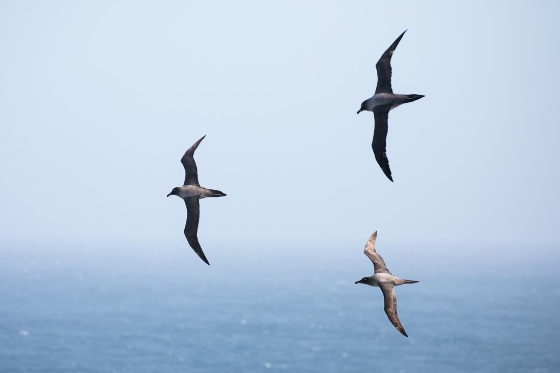 Light-mantled Sooty Albatross display flighting.