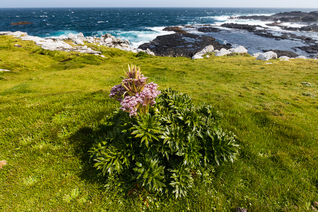 Campbell Island Carrot (Anisotome latifolia).