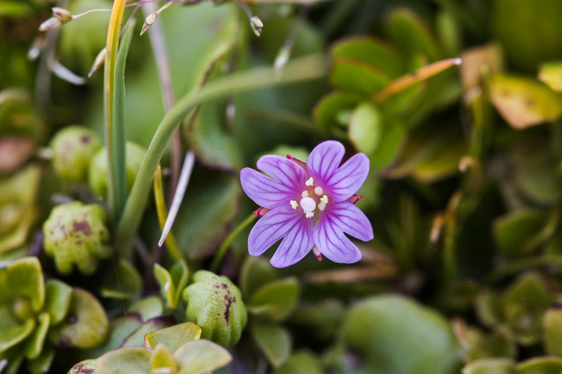 Epilobium confertifolium , endemic to Auckland and Campbell Islands.