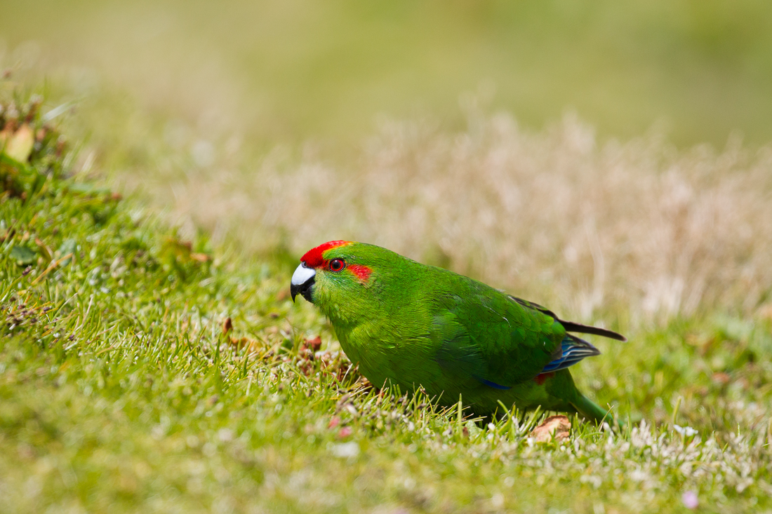 Red-crowned Parakeet with a touch of yellow on the crown. There are also Yellow-crowned Parakeet on the island which hybridise.