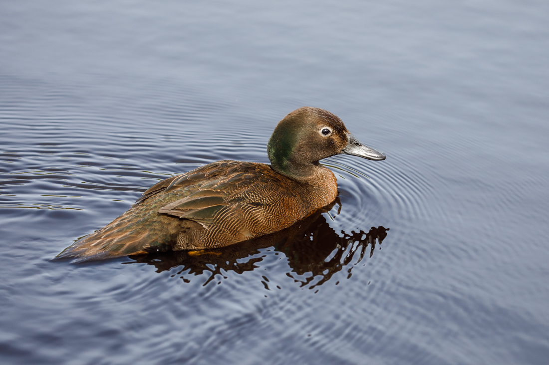 Male Auckland Island Teal. Look at how short those wings are! No wonder it is flightless.