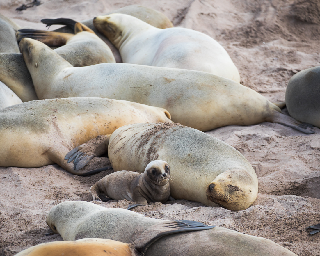 A three day old sea lion pup with its mother and the other females on the beach.