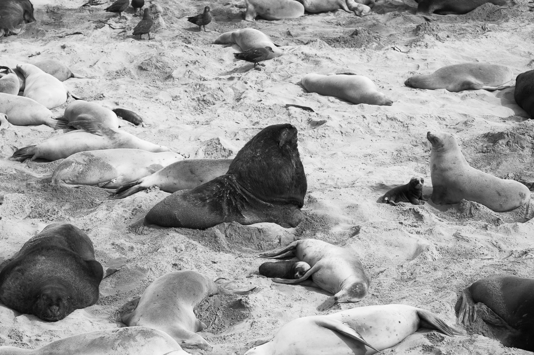 Life at a sea lion colony: a dominant bull, surround by 'his' harem of females, a few young pups, and brown skuas hanging around hoping to scavenge placentas from the birthing females.
