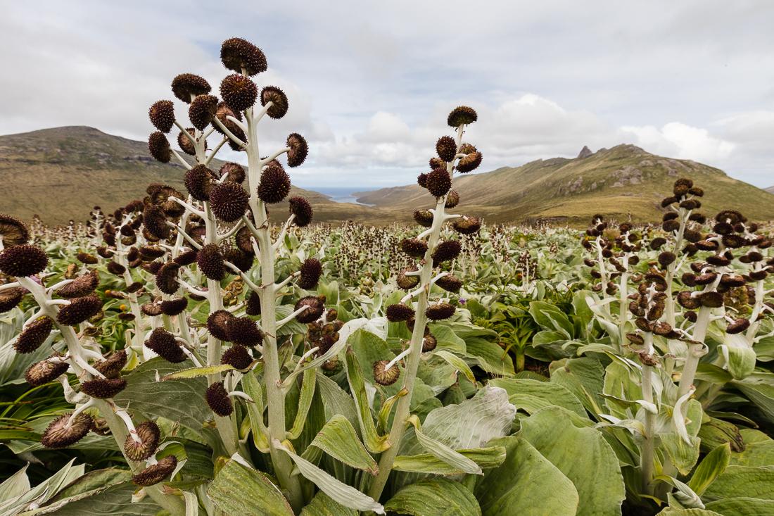 Fields of  Pleurophyllum hookeri  flowers, Campbell Island.