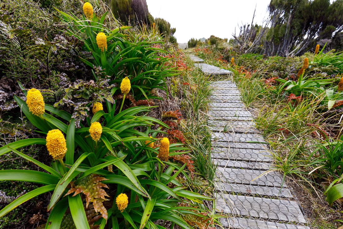 Ross' Lily,  Bulbinella rossii , growing next to the boardwalk on Campbell Island.