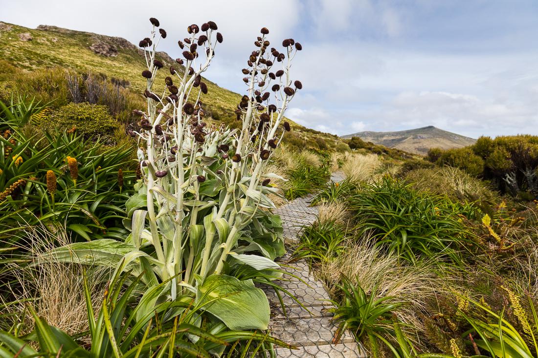 Pleurophyllum hookeri  growing next to the boardwalk on Campbell Island.