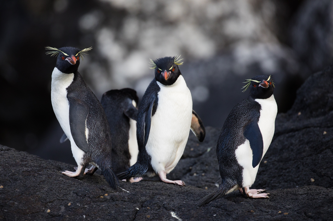 Eastern Rockhopper Penguins on Auckland Island.
