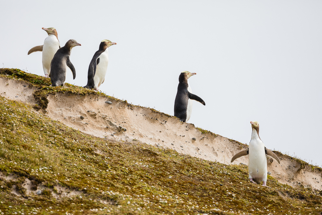 Yellow-eyed Penguins posing on Enderby Island.
