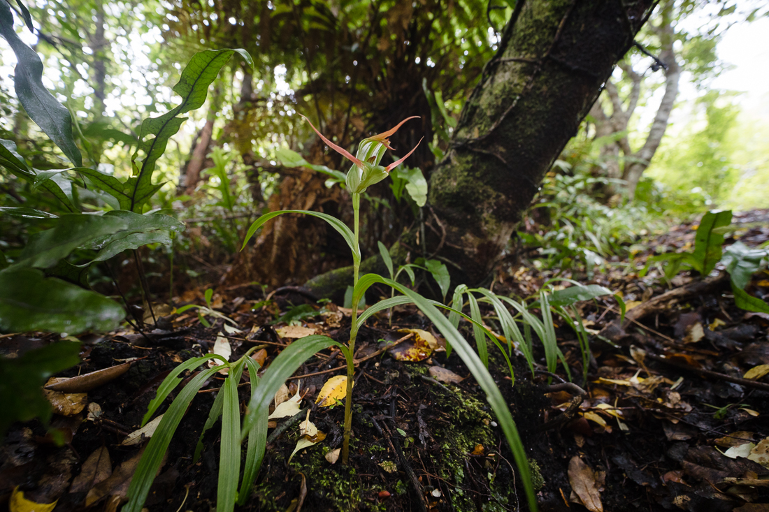 Pterostylis banksii  in its natural forest floor setting. Note the exceptionally long leaves!