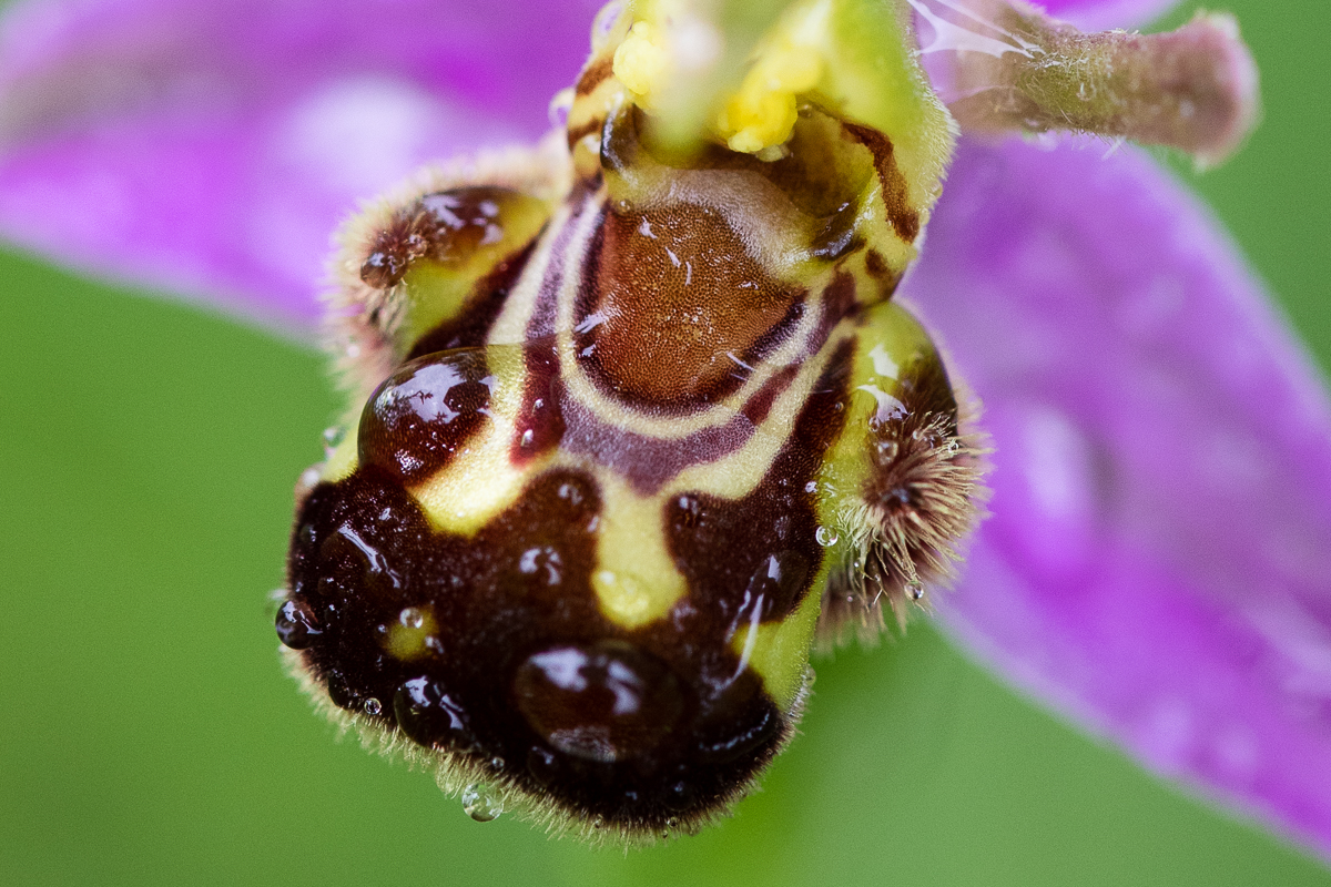 Ophrys apifera , the bee orchid, is one of four species of  Ophrys  in Britain.