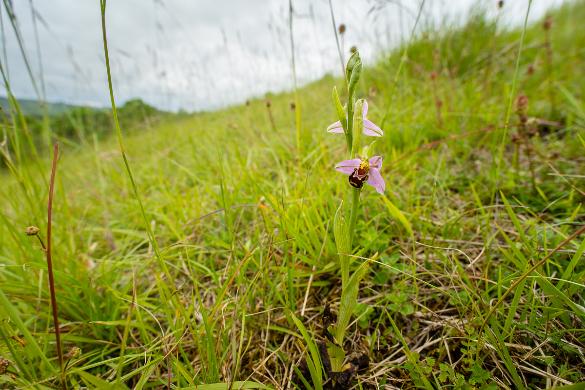 Ophrys apifera  amongst chalk grassland at Box Hill.