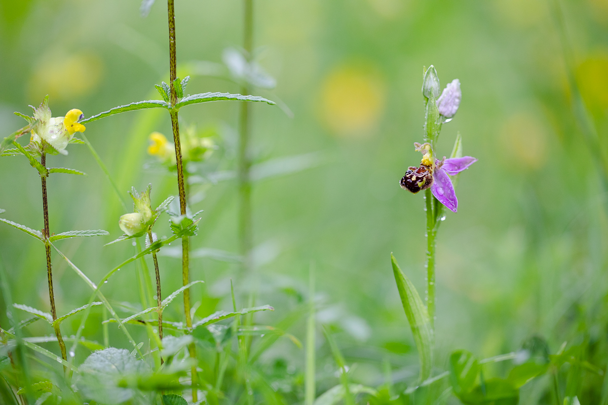 Ophrys apifera  growing amongst grasses and other herbs.