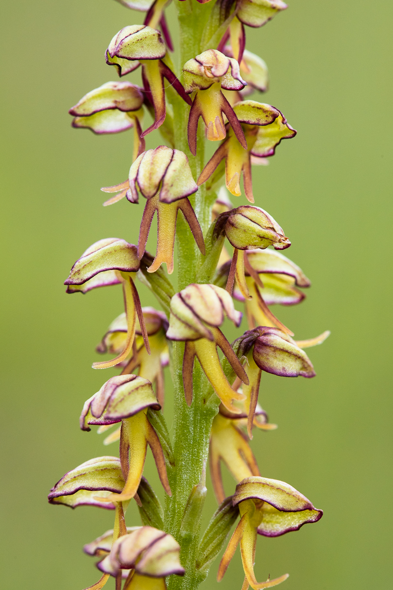 Do you see little men? The man orchid,  Orchis anthropophora