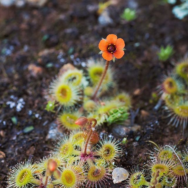 Omg what a cute little Drosera! The flower was tiny but such a happy red. . . #terrickterricknationalpark #drosera #sundew #flowerphotography #happyred #macro_vision #zeiss100mmf2 #ausgeo