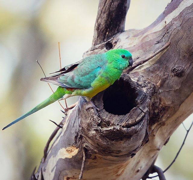 This little Red-rumped Parrot had a nest at the Terrick Terrick campground and every morning I would sit with my morning coffee and watch as Mr and Mrs Red-rump  went in and out of their hollow #fieldwork #phdlife