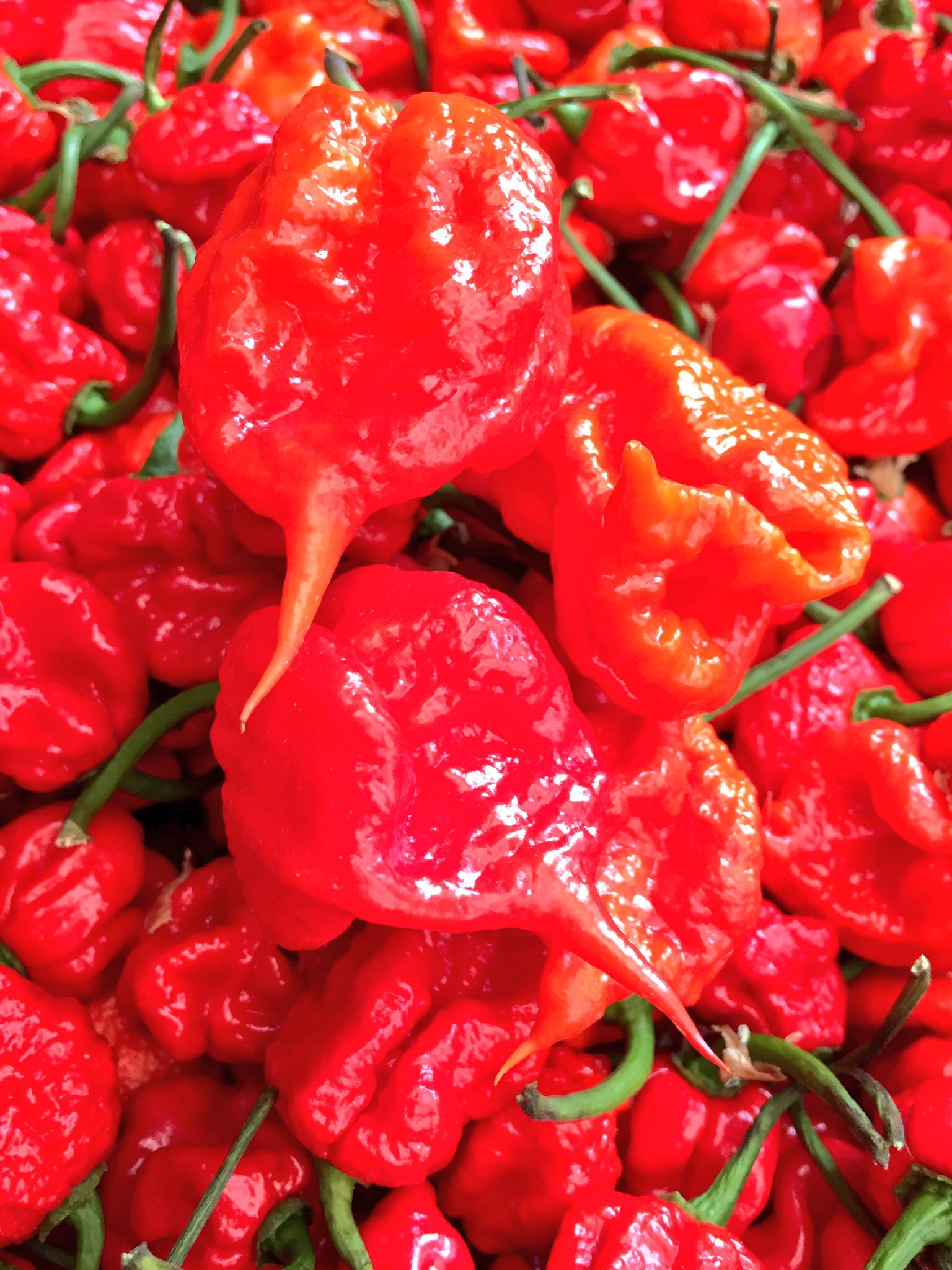 Our beautiful crop of Carolina Reapers - The World's Hottest Chilli