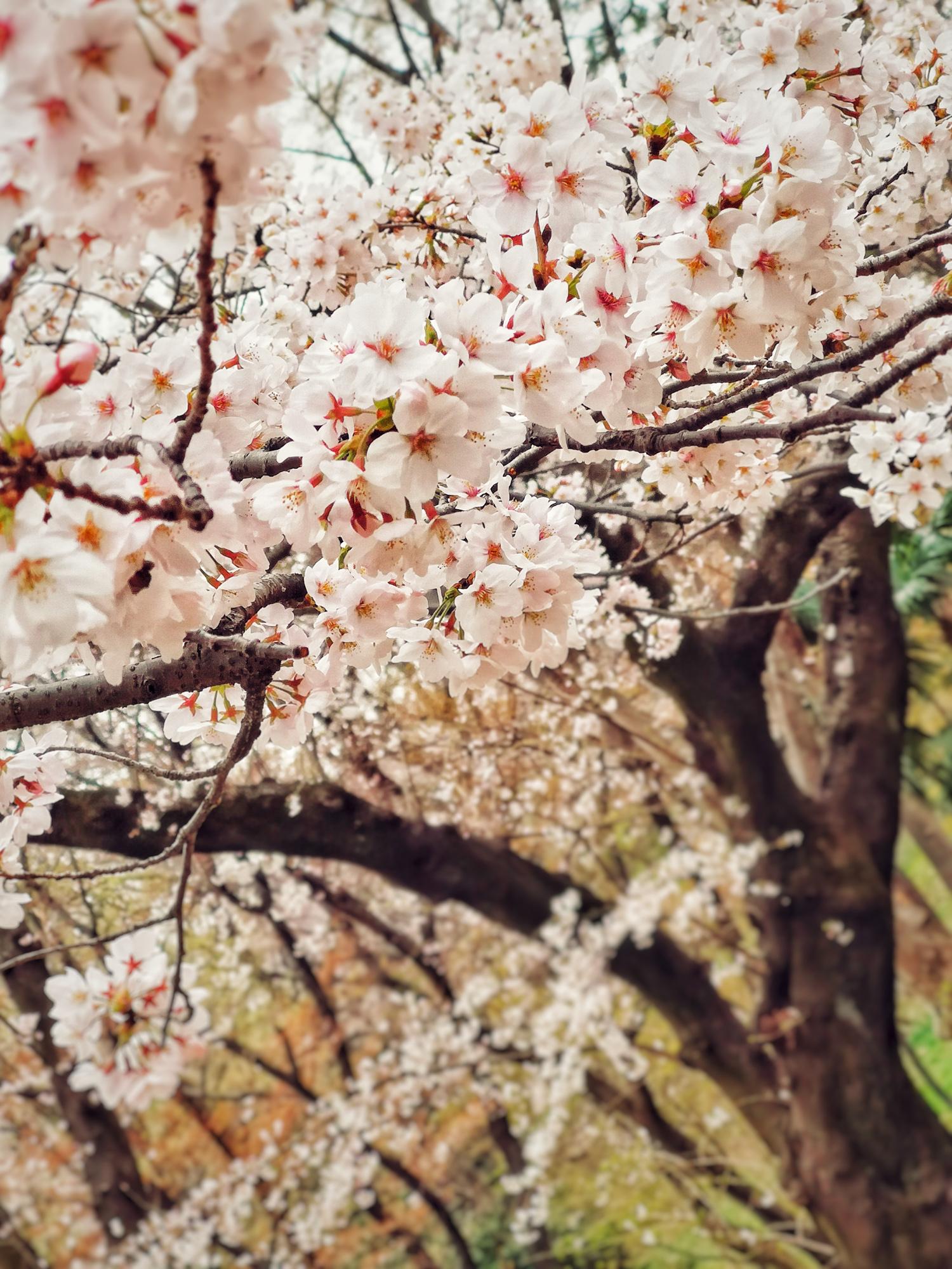 Cherry Blossoms, Ueno Park, Tokyo