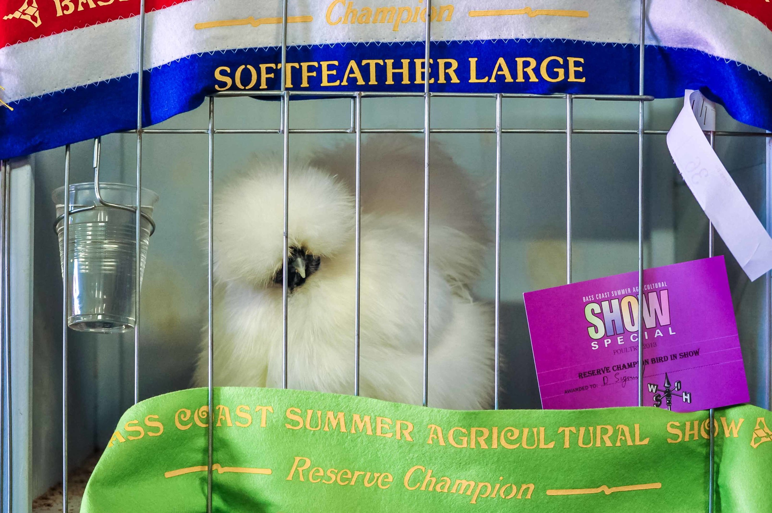 Silkie Chook