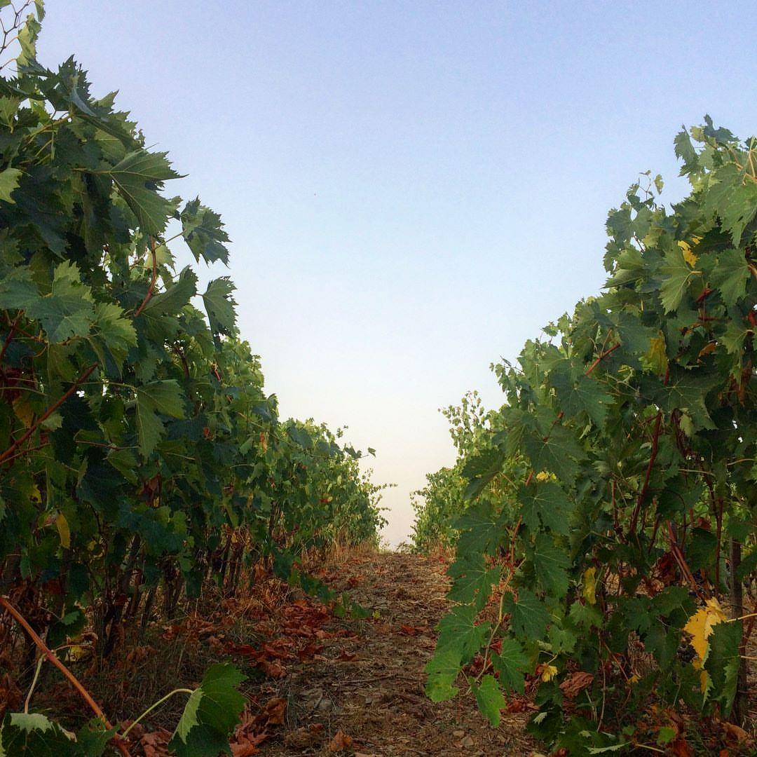Arnaldo vineyards.jpg