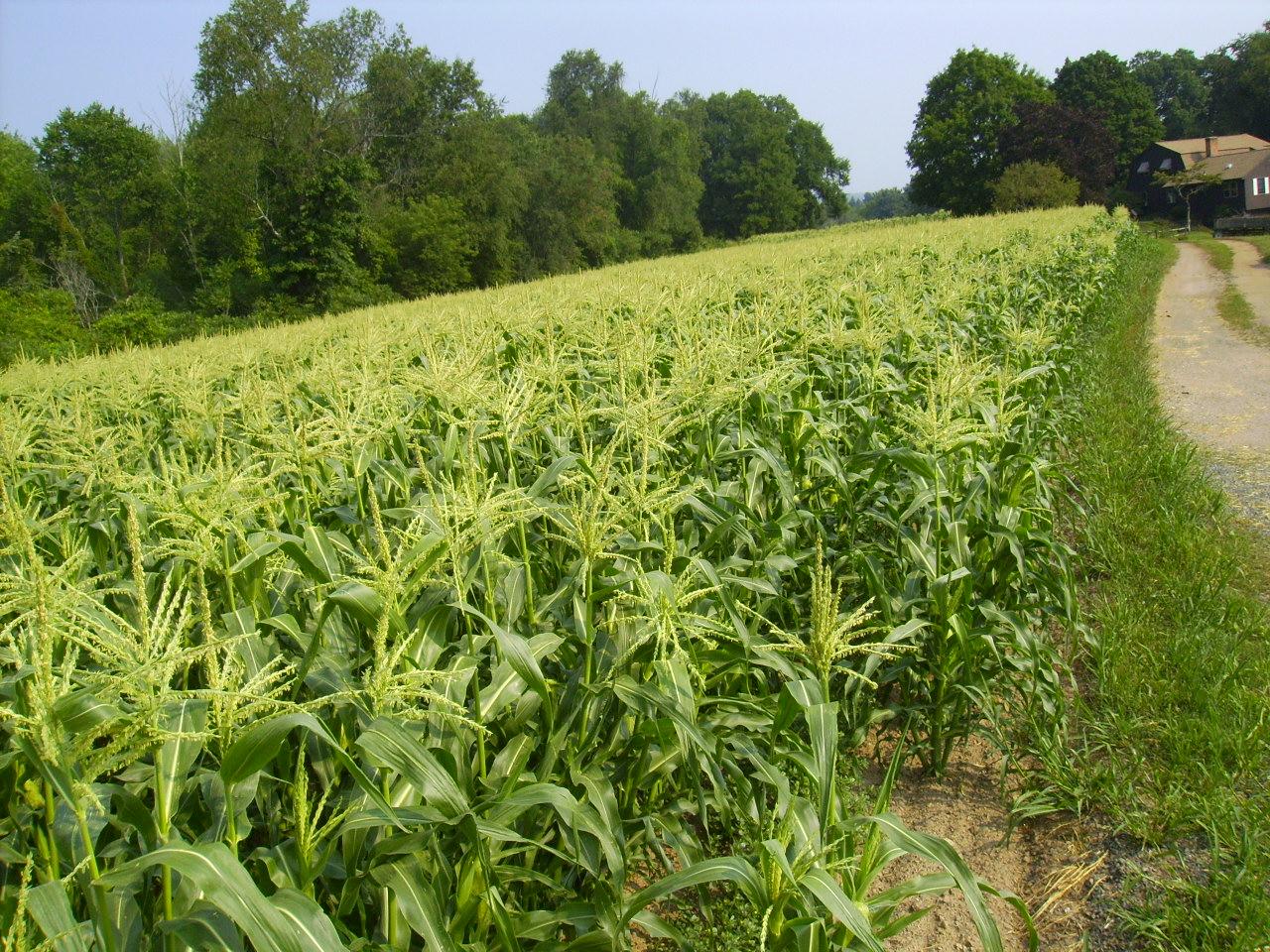 Wades Farm Corn Connecticut Grown