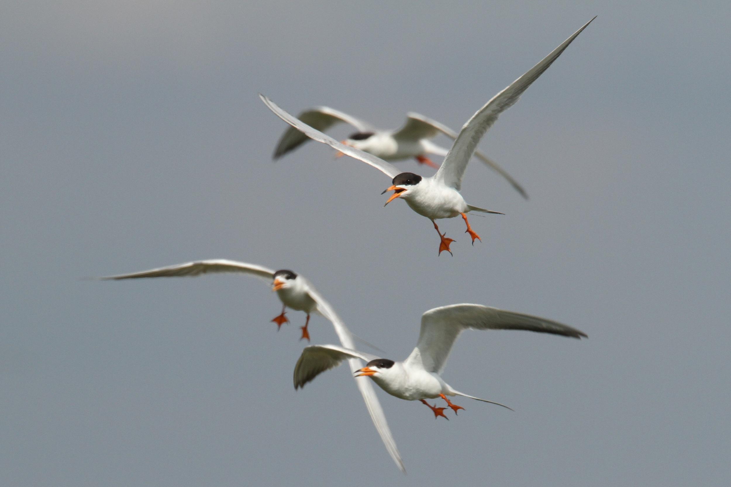 Forster's Tern, Barrataria Bay, Louisiana