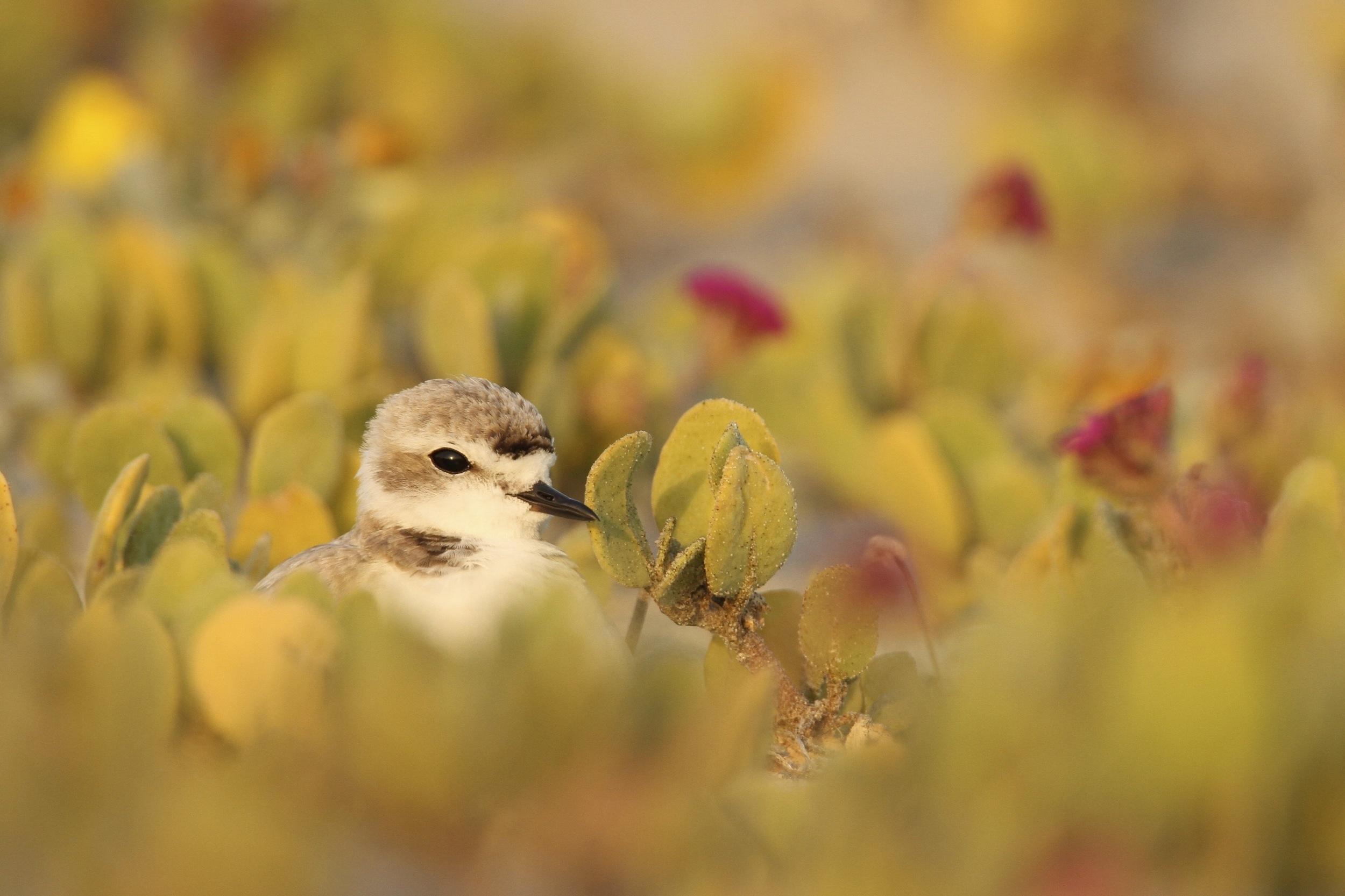 Snowy Plover on nest, Goleta, California