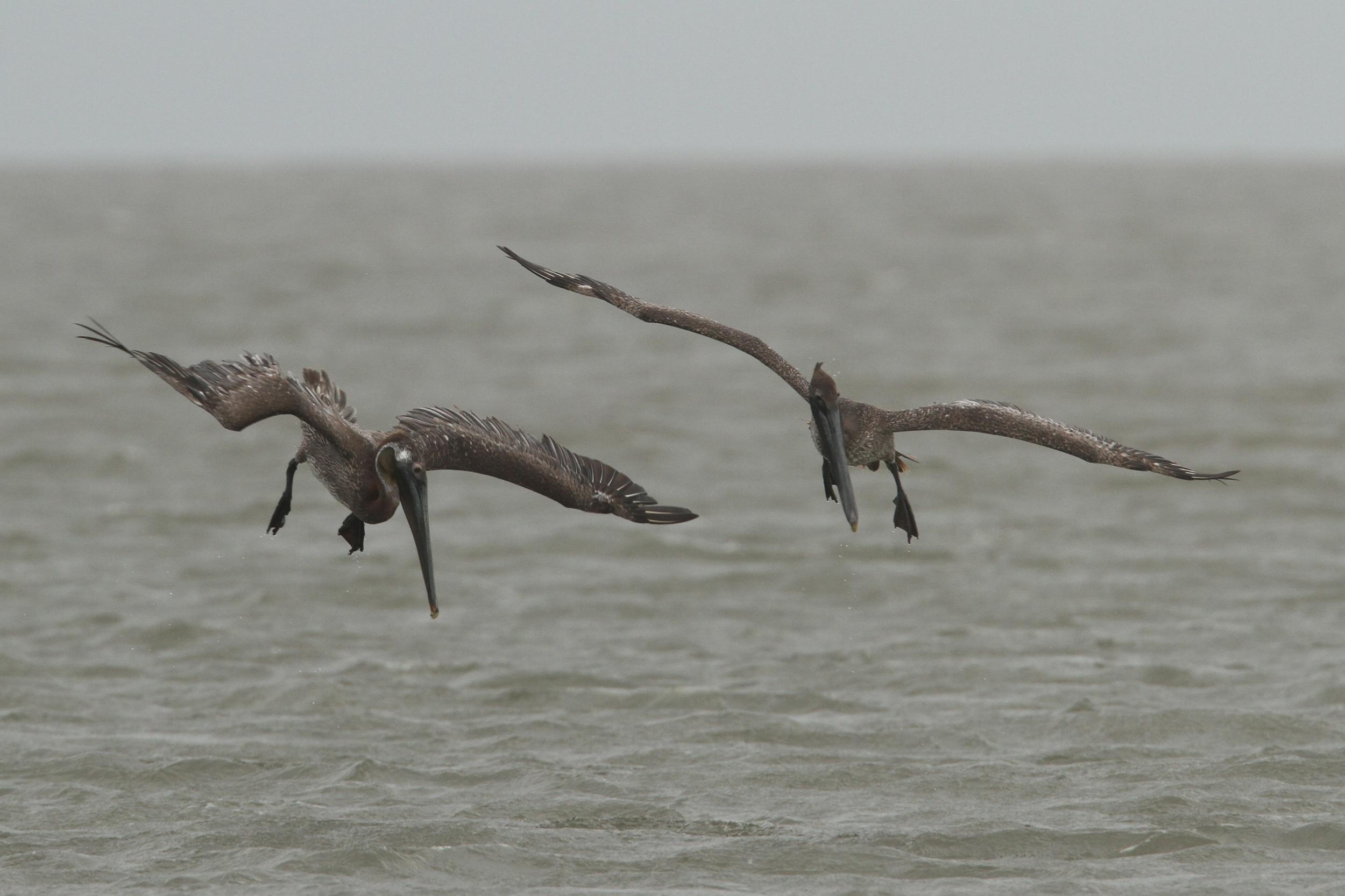 Brown Pelican, Whiskey Island, Louisiana