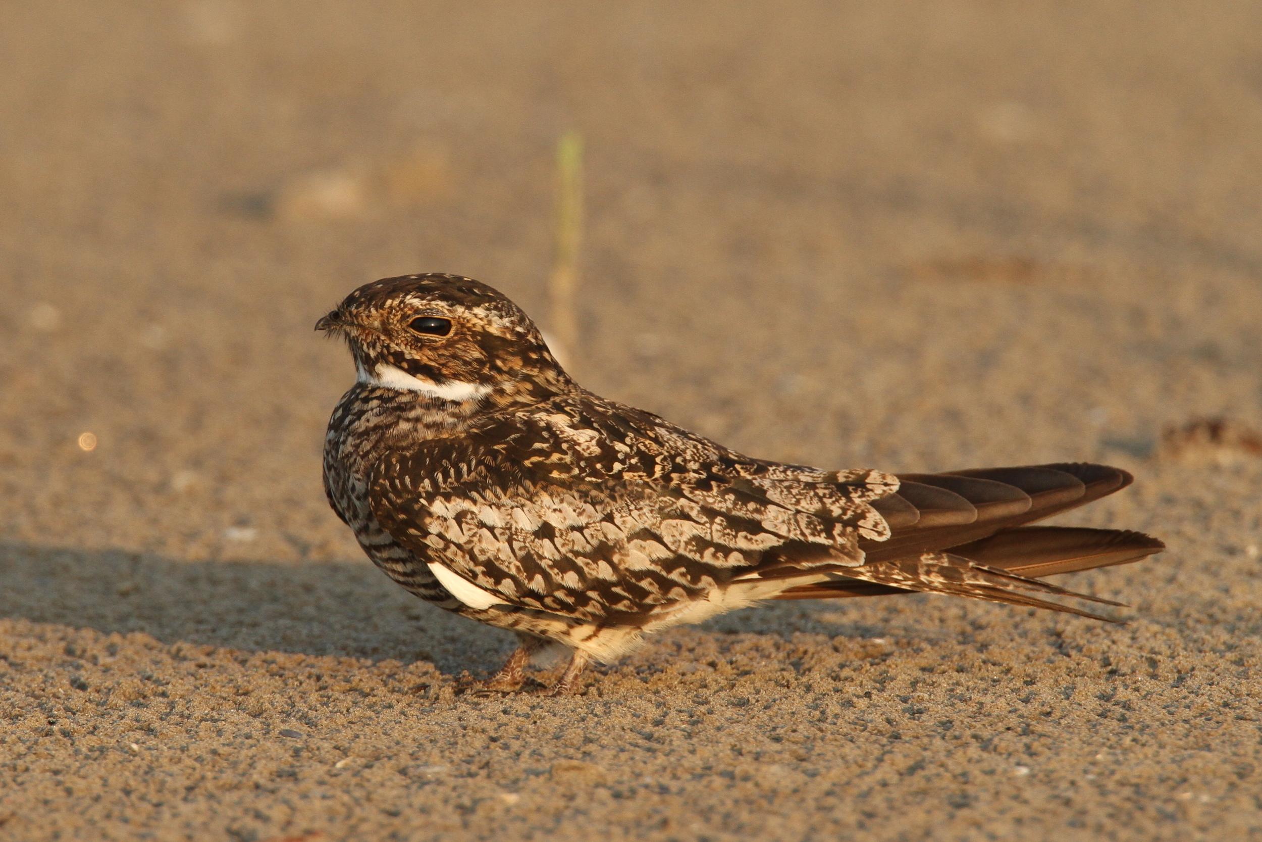 Common Nighthawk, Grand Isle, Louisiana