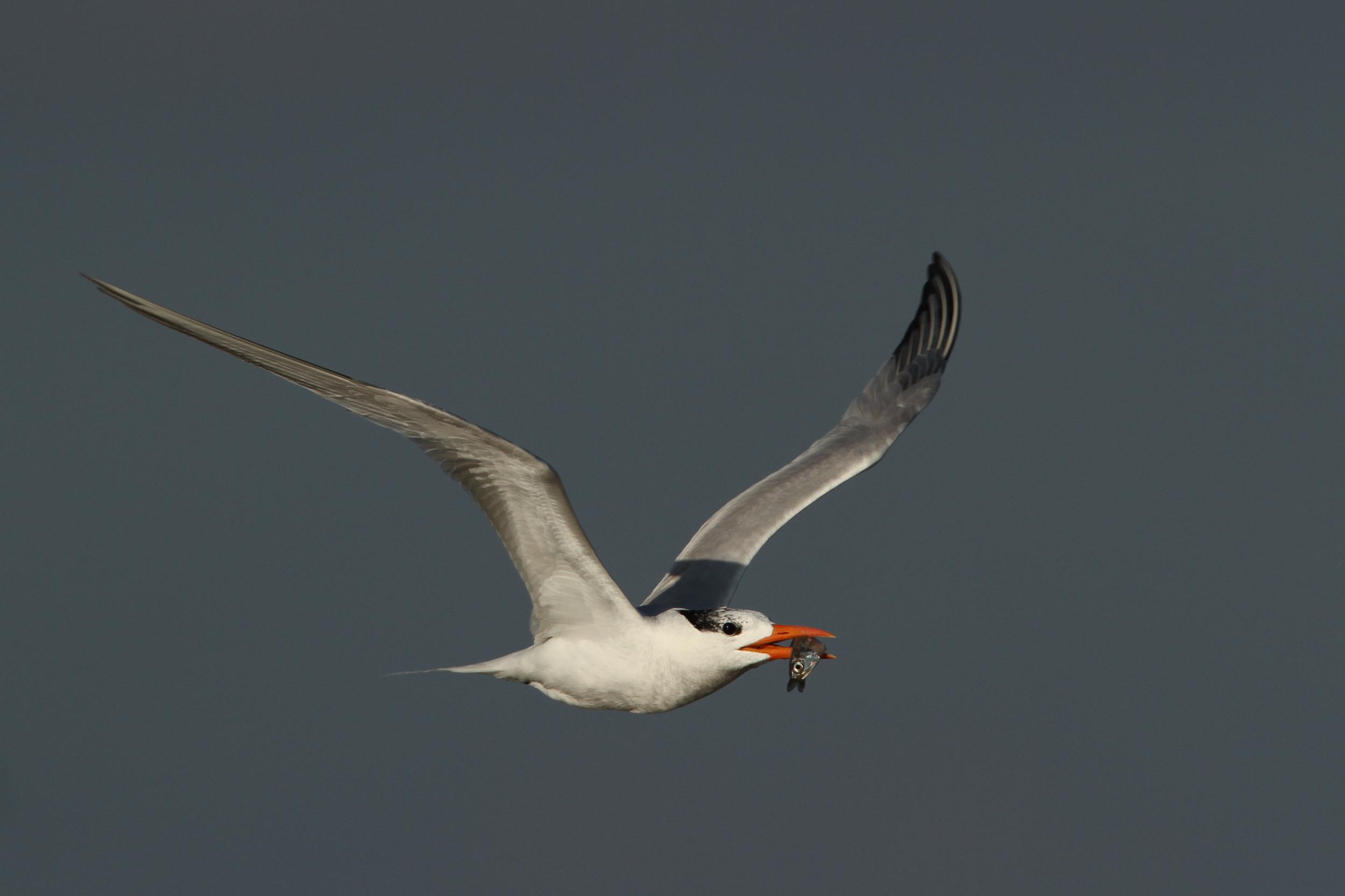Royal Tern, Breton Island, Louisiana
