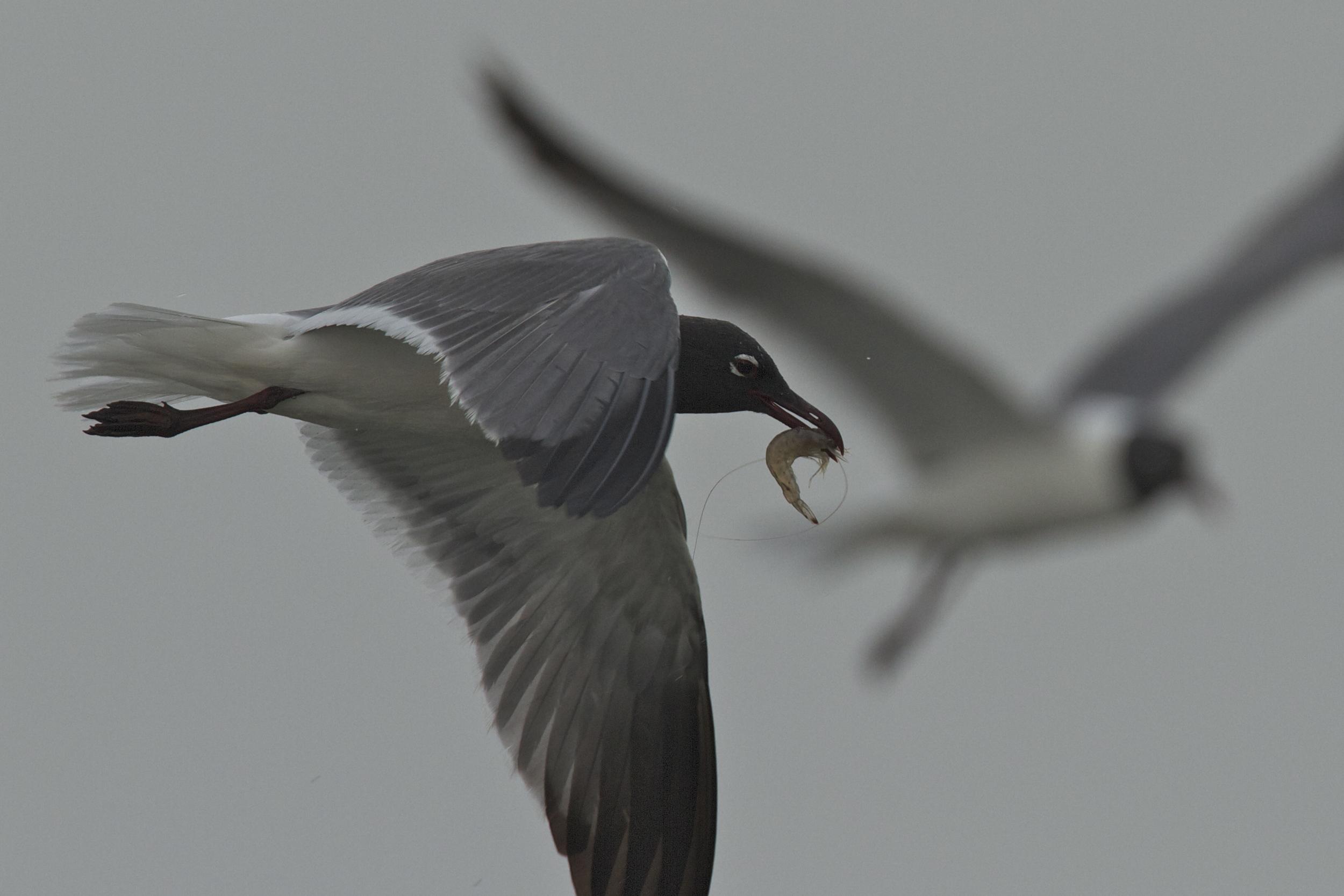Laughing Gull, Barataria Bay, Louisiana