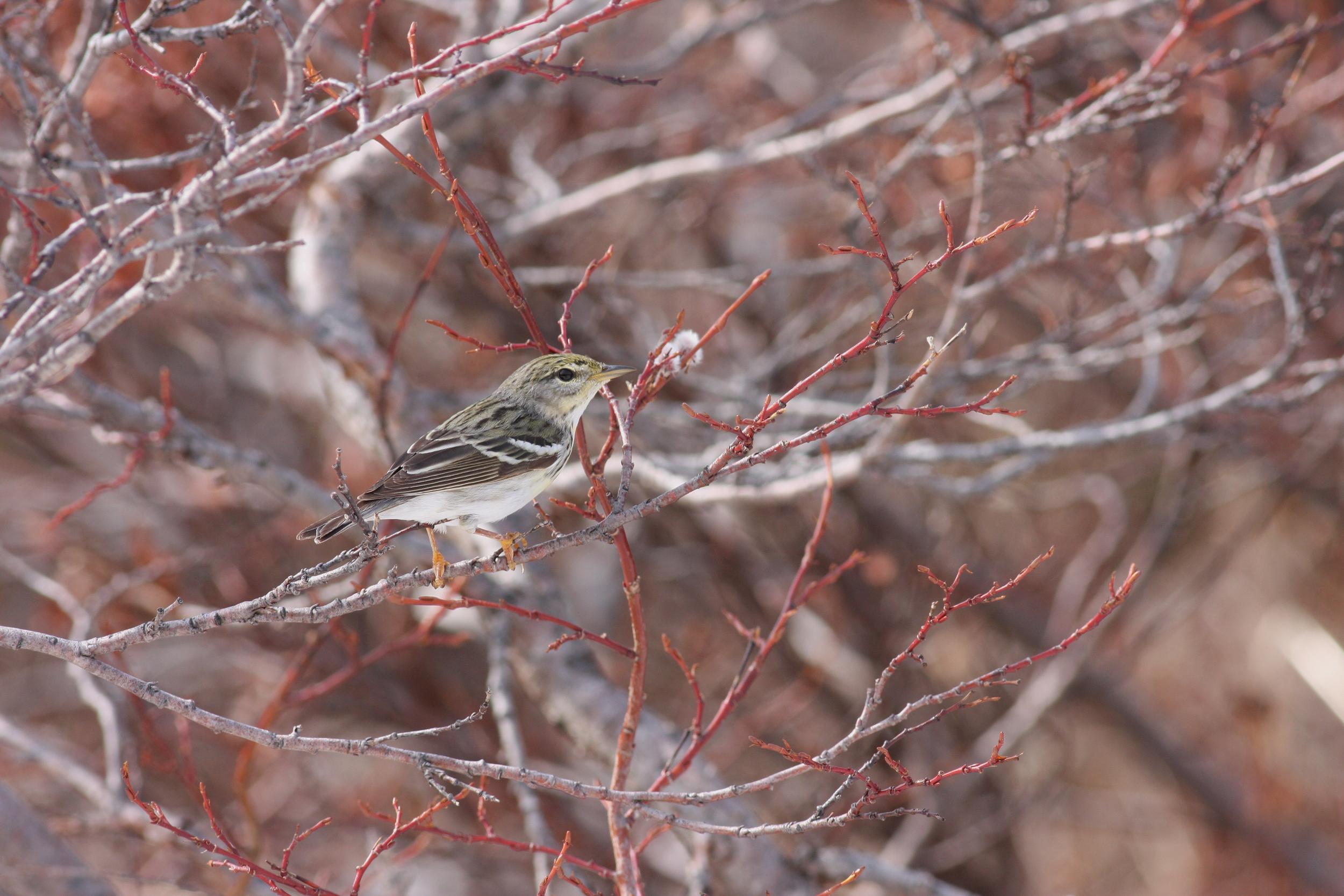 Blackpoll Warbler, Nome, Alaska