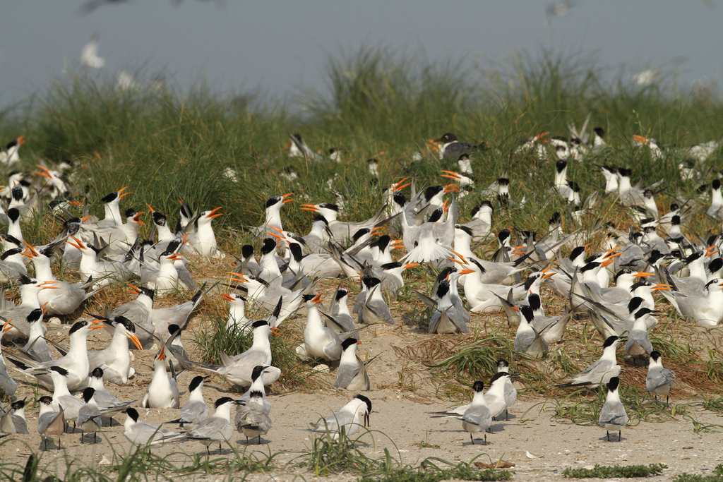 Royal Tern, Sandwich Tern, Breton Island, Louisiana