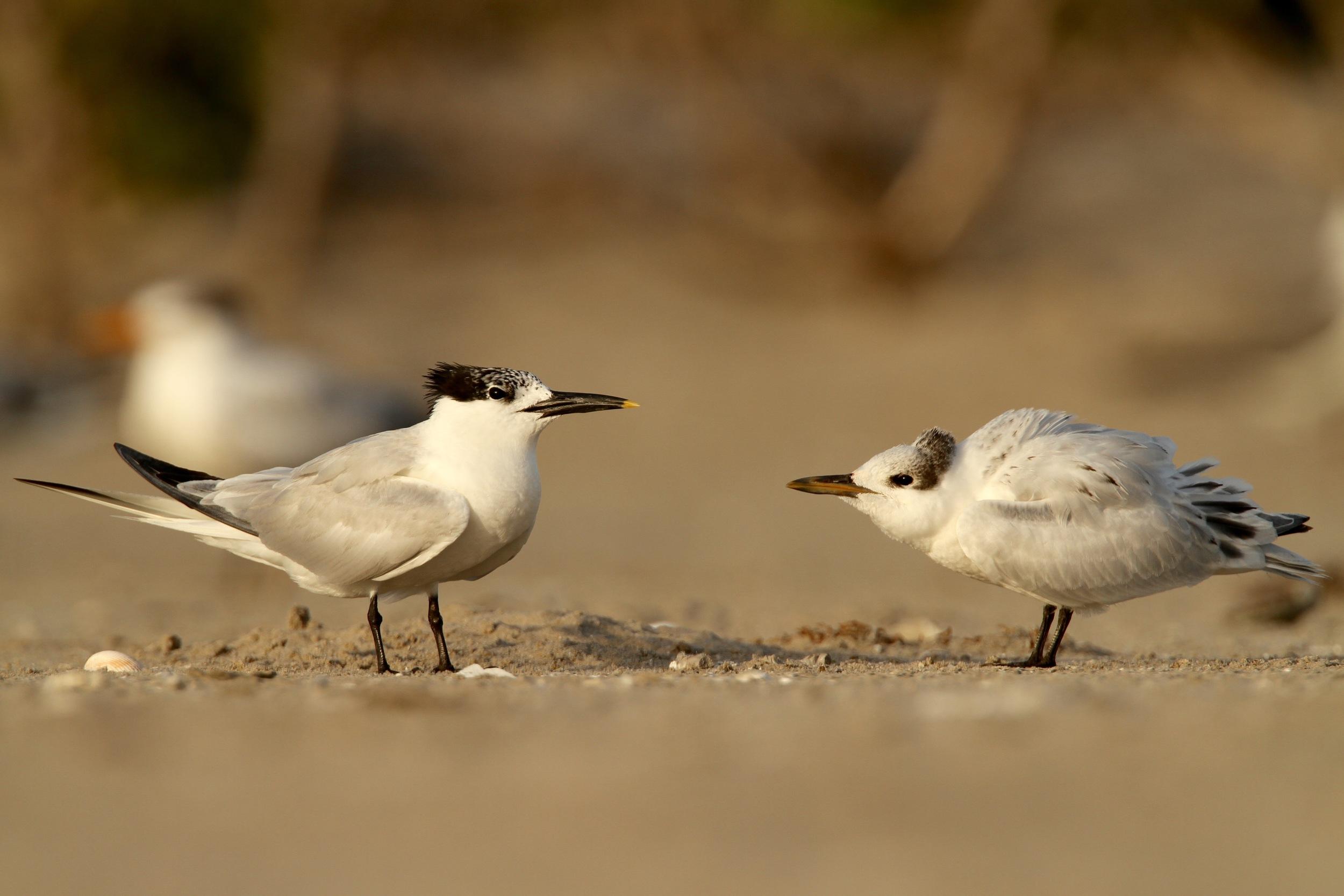 Sandwich Tern, Raccoon Island, Louisiana