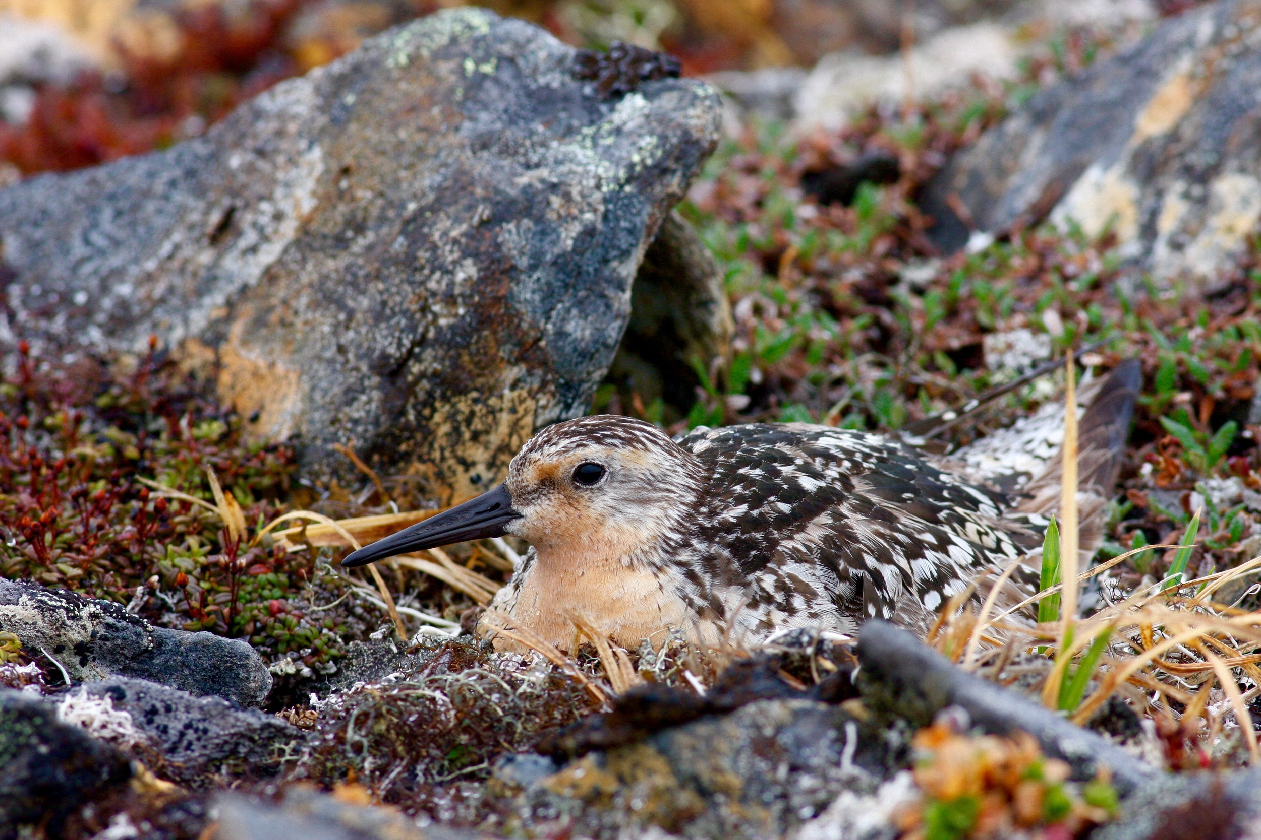 Red Knot, Nome, Alaska