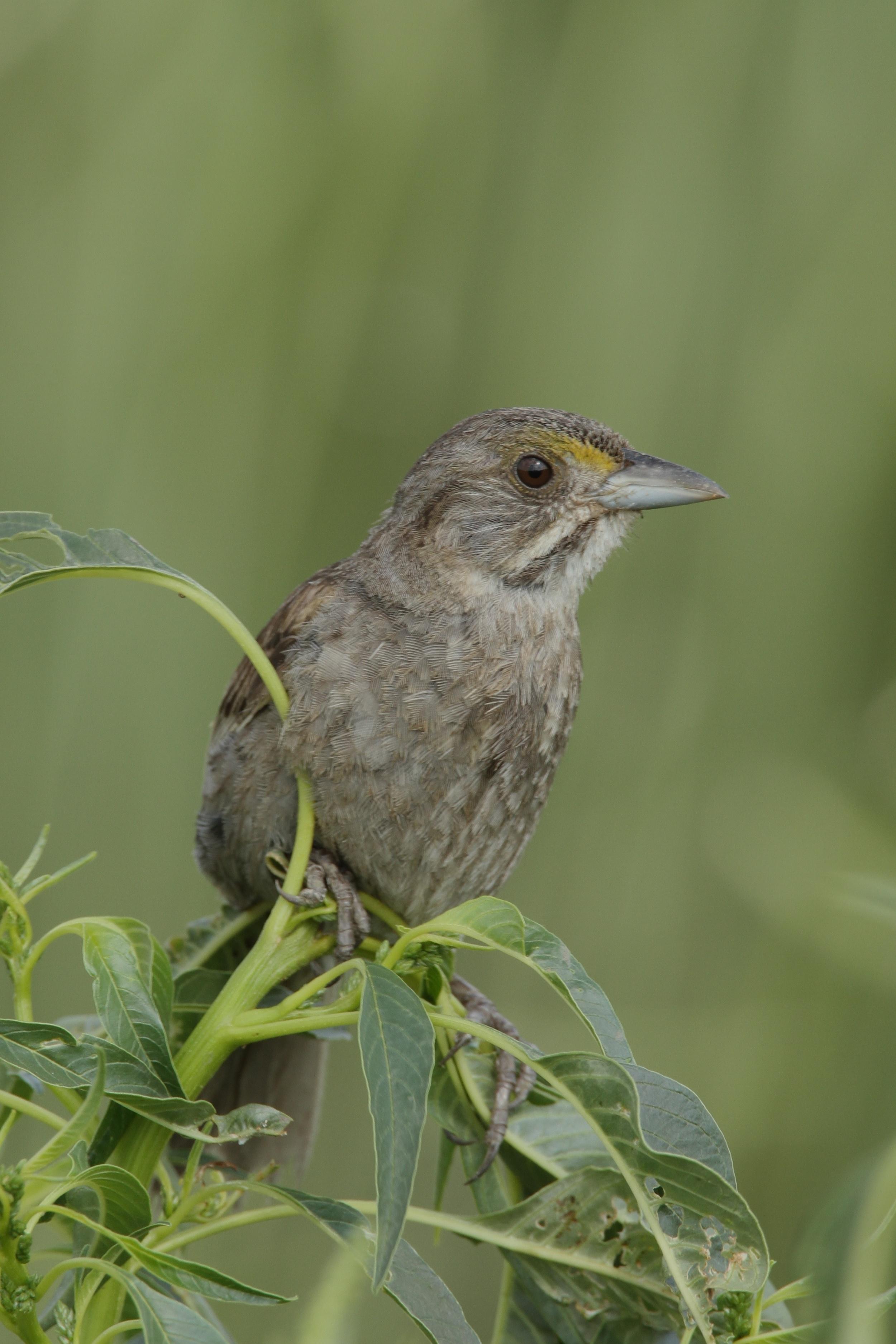 Seaside Sparrow, West Pointe a la Hache, Louisiana