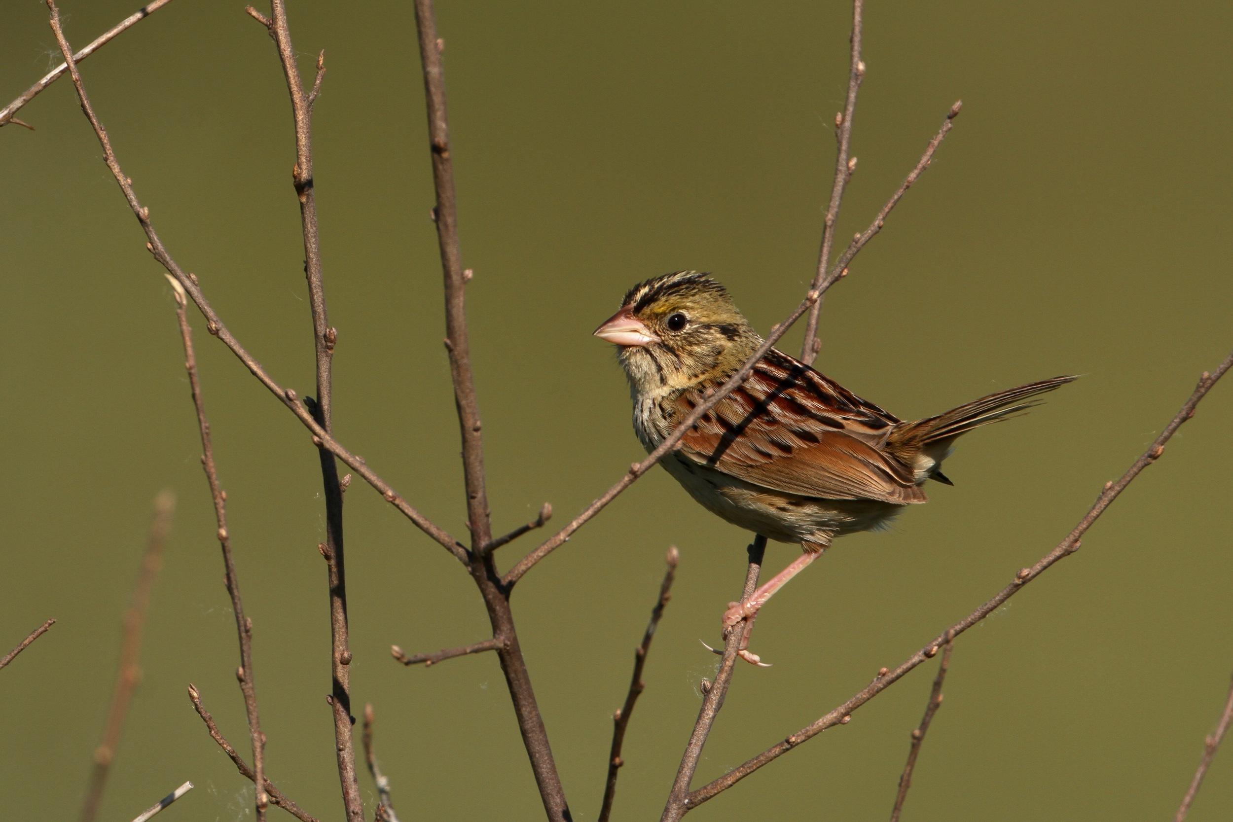 Henslow's Sparrow, Waterloo, Michigan