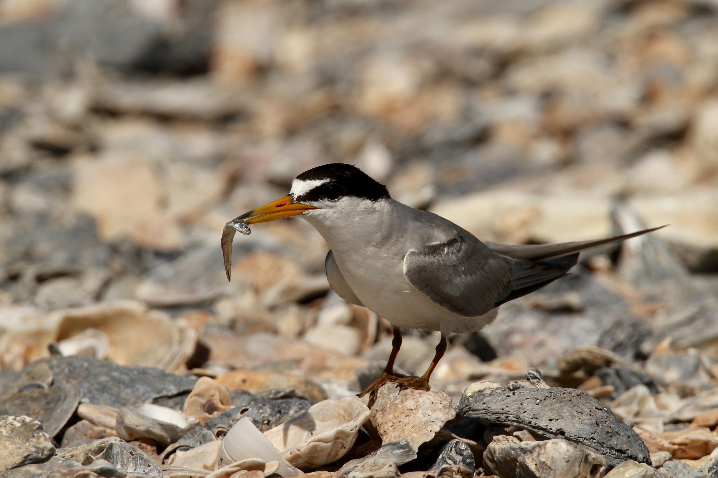 Least Tern, Bastian Island, Louisiana