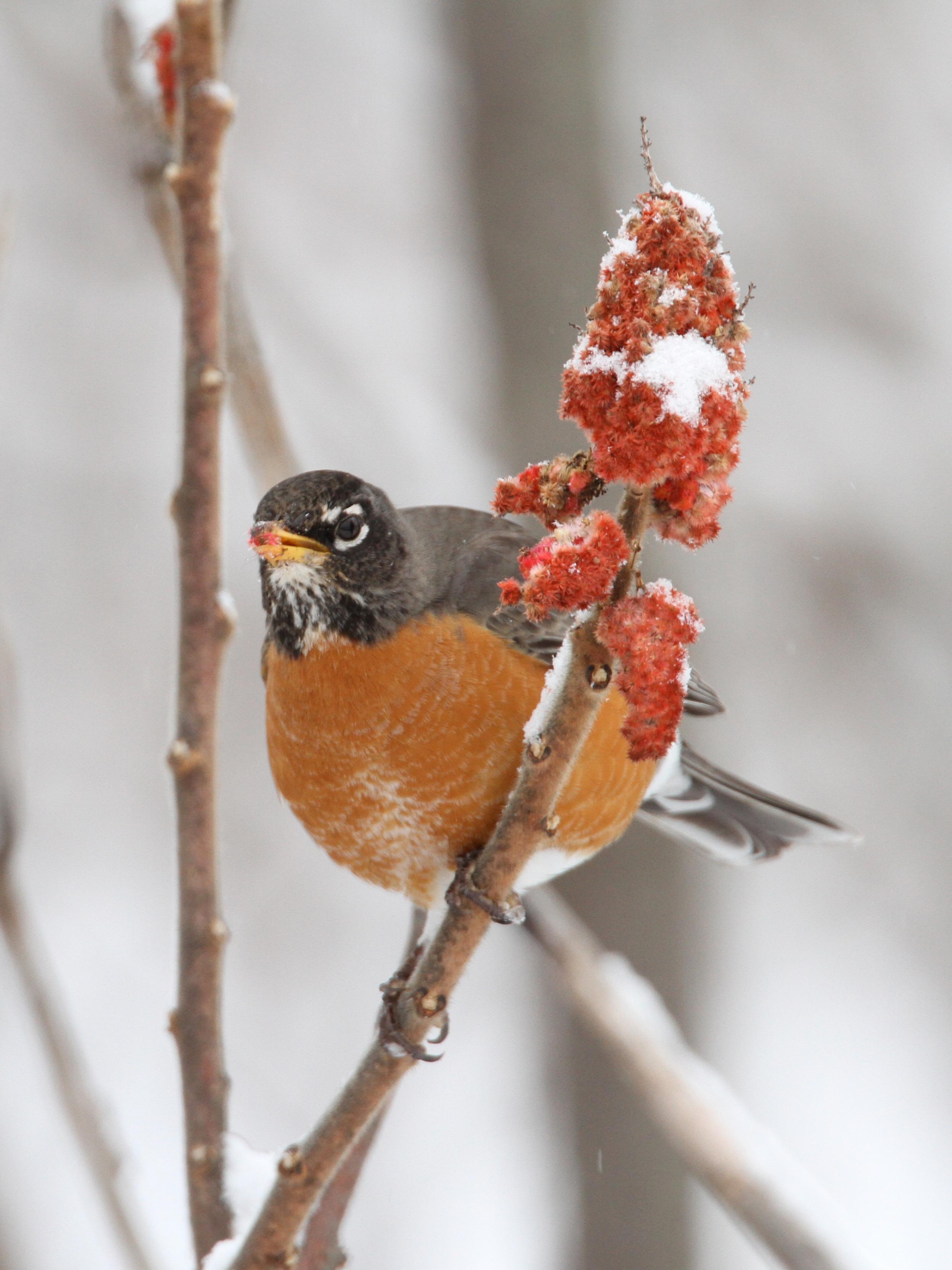 American Robin, Slaterville Springs, New York