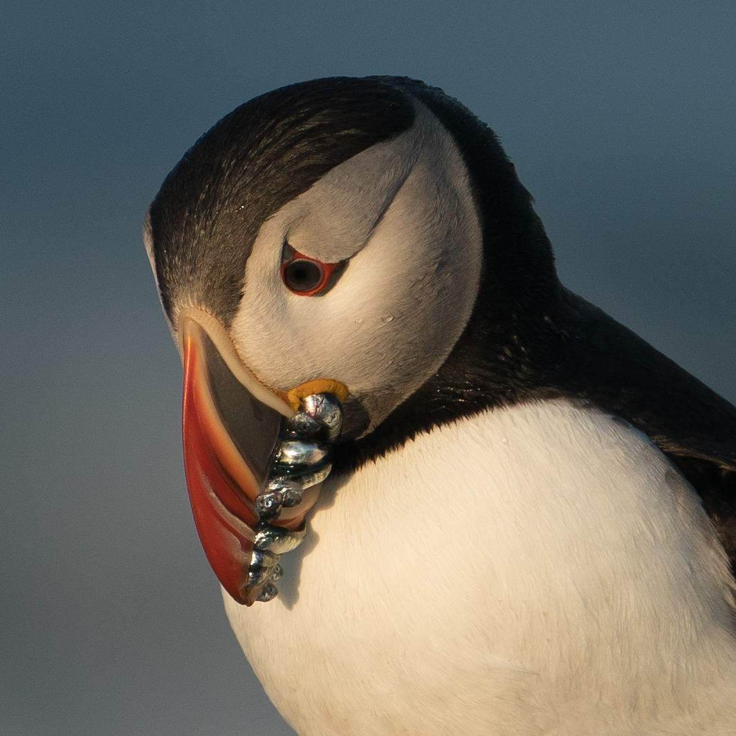Atlantic Puffin, Eastern Egg Rock, Maine