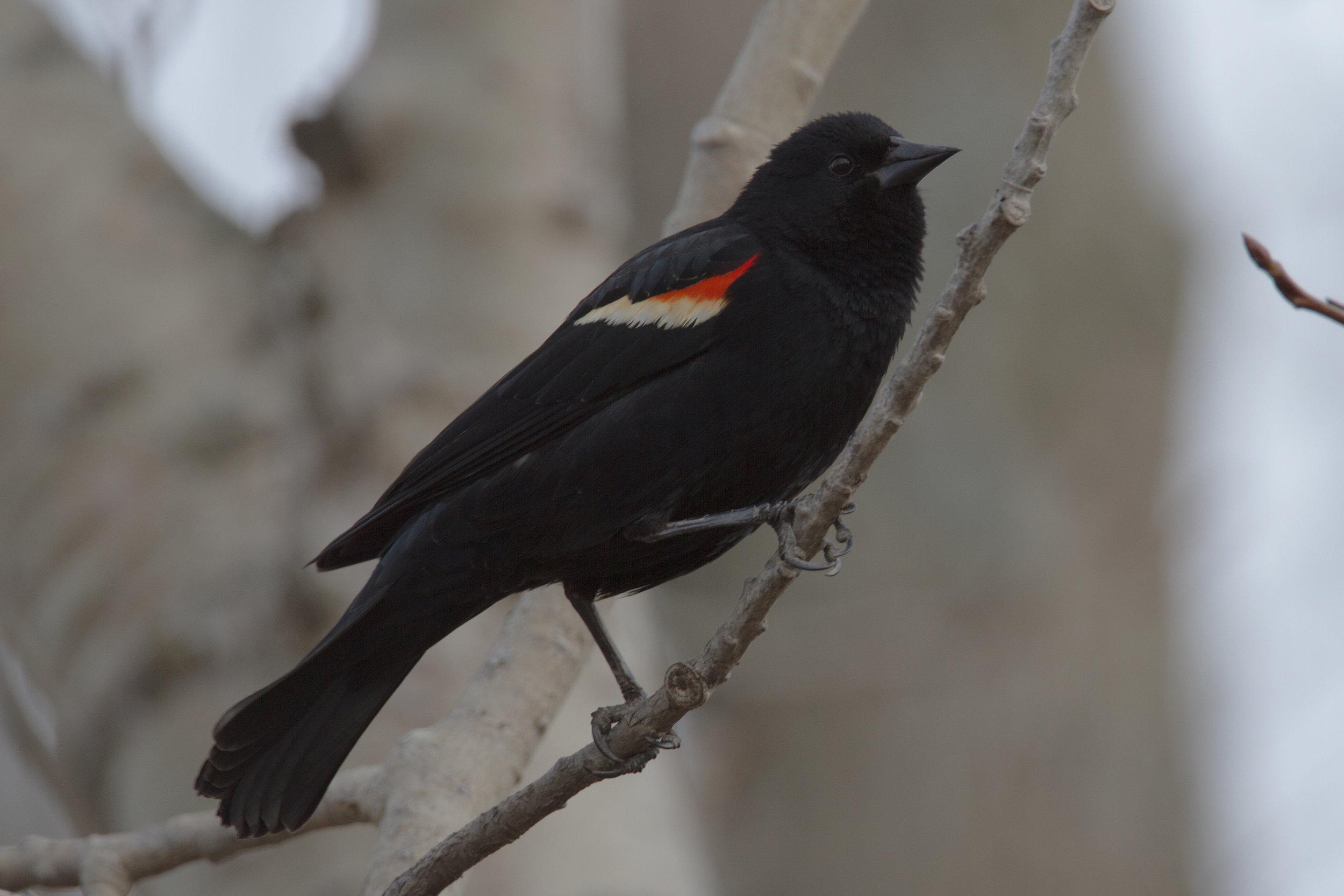Red-winged Blackbird, Ithaca, New York