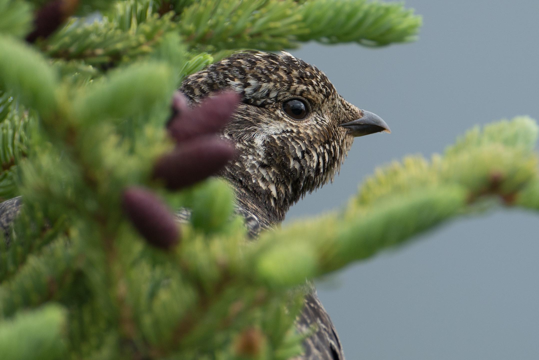 Spruce Grouse, Cantwell, Alaska