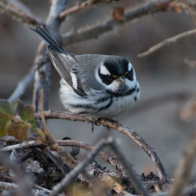 I spent the cold afternoon with this Black-throated Gray Warbler - an unexpected visitor to the Massachusetts coast.  This bird foraged intently, snatching insects along the edge of the beach, even devouring a pill bug pulled from the base of dune grasses.  #blackthroatedgraywarbler #warblers #neotropicalmigrants #conservationphotography #naturalhistory #naturephotography  #your_best_birds #bird_brilliance #birdstagram #bestbirdsofinstagram #best_birds_of_ig #bestbirdshots #feather_perfection #pocket_birds #kings_birds_ #bns_birds #eye_spy_birds #thetweetsuites #nuts_about_birds #planetbirds #ig_discover_birdslife #birds_perfection #earthcapture #birds_private #birds_adored #instabird #instabirds #animal_sultans #nanpapix