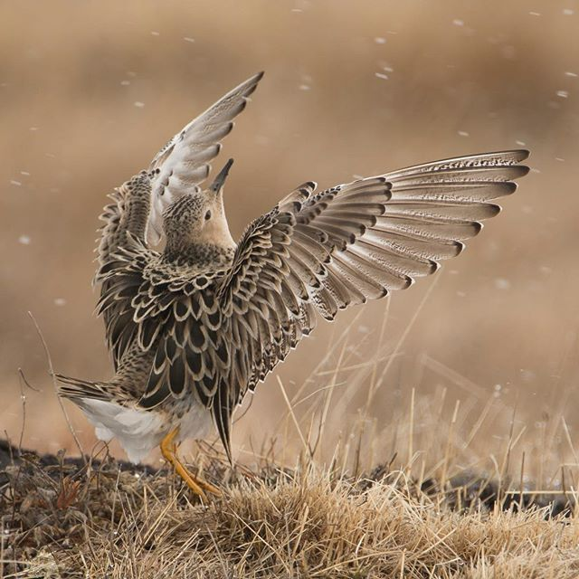 Buff-breasted Sandpiper display on a lek near Utqiagvik, Alaska from this past Spring.  I was thrilled to learn that this photo has made it through to the final round of judging in the prestigious Wildlife Photographer of the Year Contest in England.  Wish me luck! #buffbreastedsandpiper #lek #sandpiper #birdsofalaska #birdsofinstagram #wildlifephotography #conservationphotography #naturalhistory #nanpapix
