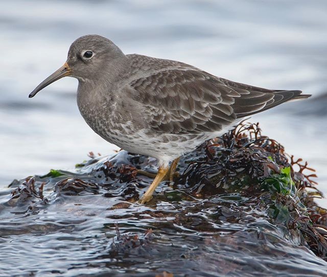 Purple Sandpiper foraging atop a seaweed covered rock along the rocky, Massachusetts coast.  My favorite wintertime resident of my home coastline, these birds are always exciting to watch when you can get close.  #purplesandpiper #sandpipers #birdsofmassachusetts #migratorybirds #migratoryshorebirds #greatbackyardbirdcount #conservationphotography #nanpapix #birdsofinstagram