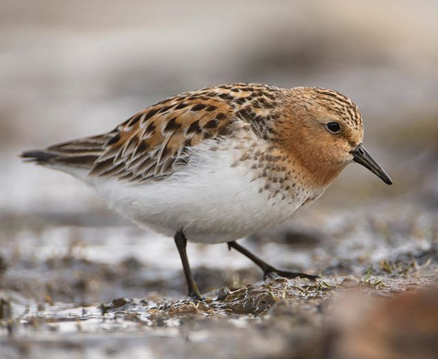 Red-necked Stint, Utqiagvik, Alaska.  Watching this bird forage, I noticed a low-stepping, almost creeping posture as the bird moved forward while foraging.  Foraging style can be diagnostic, just like flight or posture...a lesson learned from this encounter that I will try and apply in the future when scanning Shorebirds on migration, looking for different species on flats from afar, (when they're in far less noticeable plumage as this breeding plumed individual). Red-necked Stint breed primarily in arctic Russia but show up annually on migration and breed occasionally on the Alaskan side of the Bering Sea (as far as is known). #Redneckedstint #Shorebirds #Beringia #BirdsofBeringia #Utqiagvik #Barrow #barrowalaska #migratorybirds #nanpapix #naturephotography