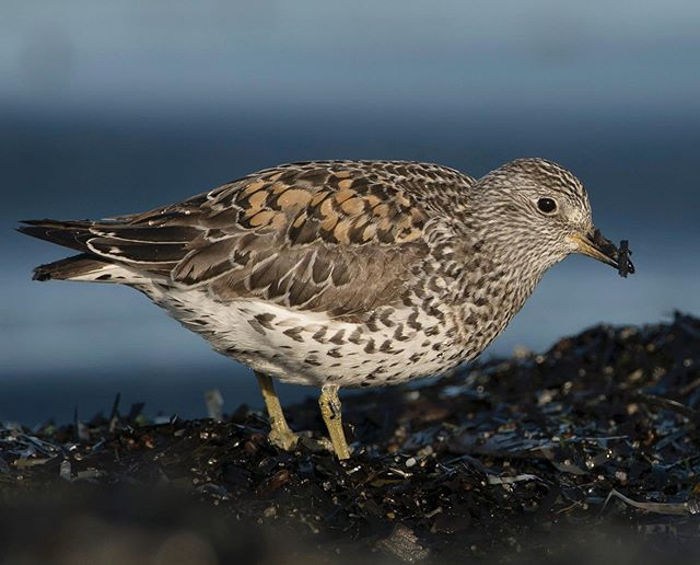 Surfbird, foraging atop an eel grass covered block of ice on the Seward peninsula shore.  Surfbirds sometimes gather at the shore of Norton Sound in the early Spring when their montane, alpine tundra nesting areas are still covered with snow.  In these years Surfbird can sometimes be easily seen.  Other years, they arrive more stealthily, disappearing into the high country where they nest on mostly inaccessible ridge tops.  #surfbird #shorebirds #birdsofinstagram #migratorybirds #arcticbirds #birdsofalaska #nomealaska #birdsofnome #birdsofberingia #beringia #BirdsoftheSewardPeninsula #naturephotography #birdphotography #nanpapix #your_best_birds