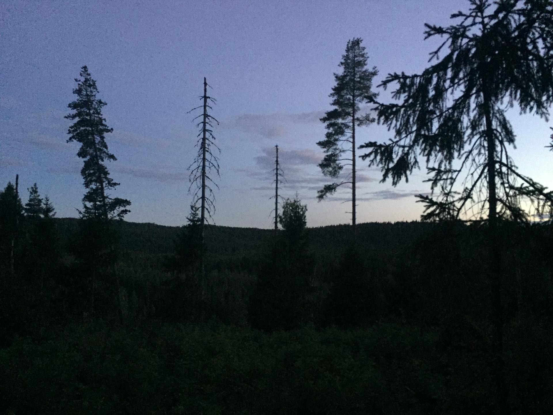 Ofte knaker det i skogen av fugler som skremmes opp når jeg kommer forbi. Her braket det høyere enn vanlig. Jeg stopper og ser rundt meg. I mørket, 20 meter unna, reiser det seg en elg fra buskene. Vi måler hverandre med øynene. Deretter smyger Skogens konge seg vekk.