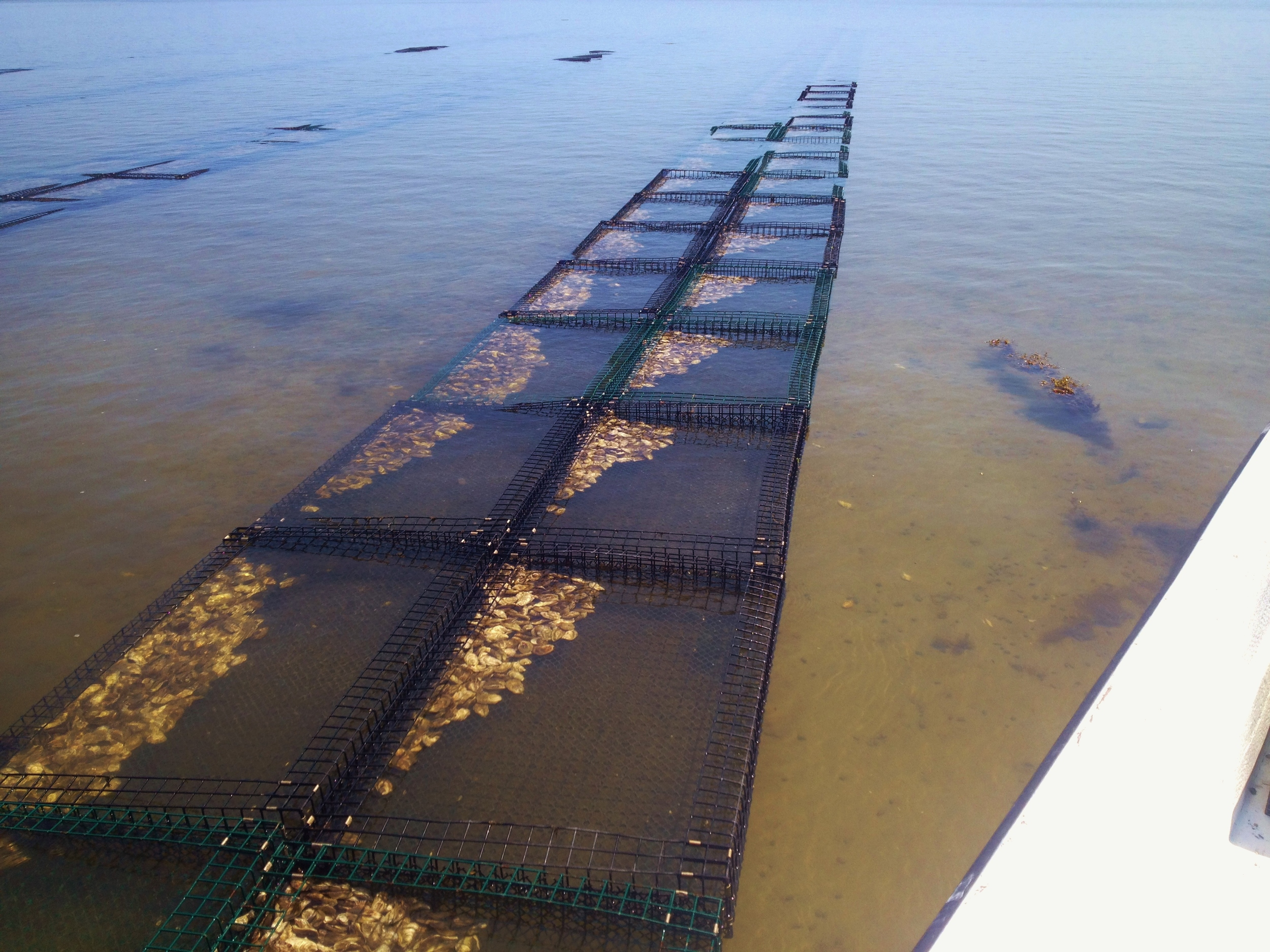 Oysters in racks as the tide goes down